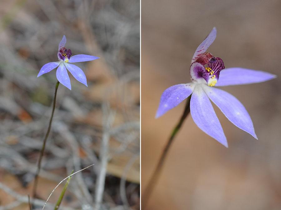Quelques orchidées du Sud Ouest Australien - Page 2 Jlr_8310