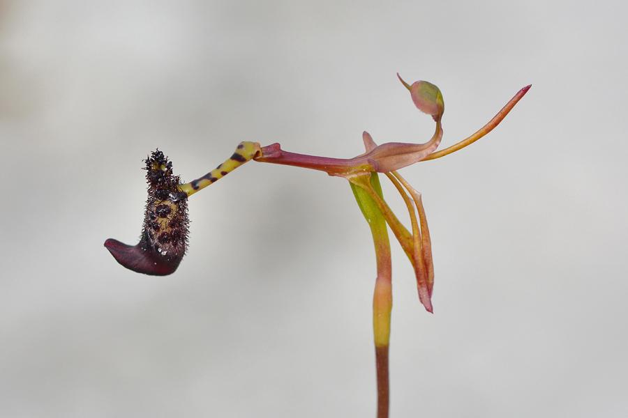 Quelques orchidées du Sud Ouest Australien - Page 4 Jlr_8312