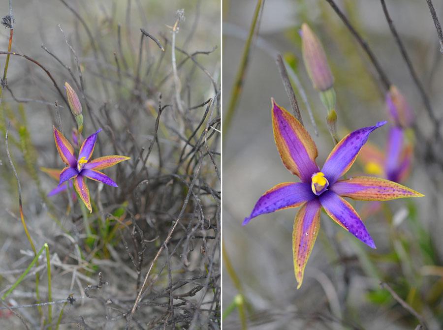 Quelques orchidées du Sud Ouest Australien - Page 3 Jlr_8314