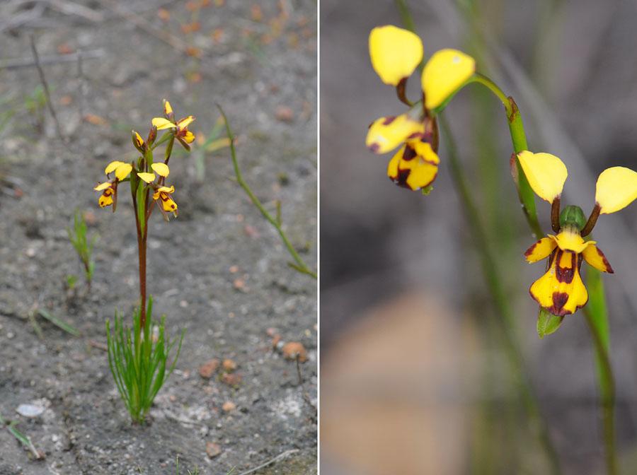 Quelques orchidées du Sud Ouest Australien - Page 4 Jlr_8411