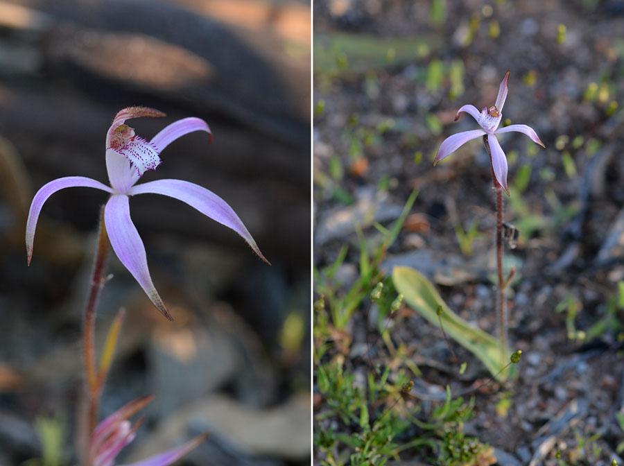 Quelques orchidées du Sud Ouest Australien - Page 2 Jlr_8510