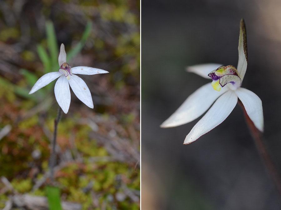 Quelques orchidées du Sud Ouest Australien - Page 2 Jlr_8611
