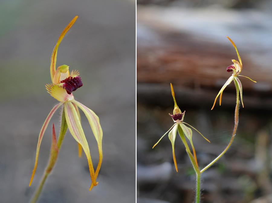 Quelques orchidées du Sud Ouest Australien - Page 3 Jlr_8710