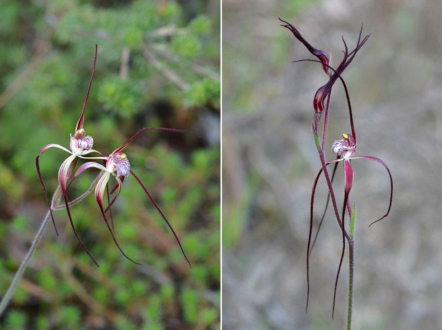 Quelques orchidées du Sud Ouest Australien - Page 4 Jlr_8714