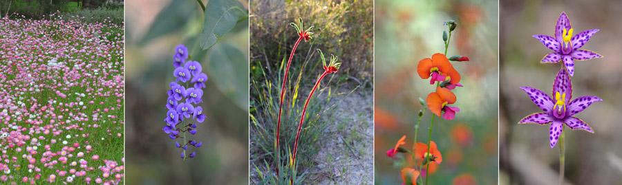 Quelques orchidées du Sud Ouest Australien Jlr_8810