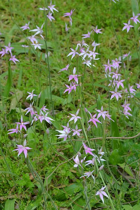 Quelques orchidées du Sud Ouest Australien Jlr_8812