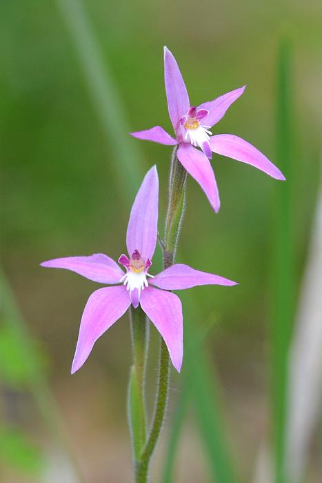 Quelques orchidées du Sud Ouest Australien Jlr_8813