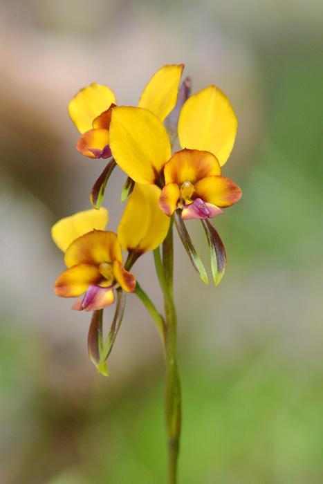 Quelques orchidées du Sud Ouest Australien Jlr_8814