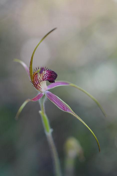 Quelques orchidées du Sud Ouest Australien Jlr_8815