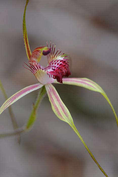 Quelques orchidées du Sud Ouest Australien Jlr_8816
