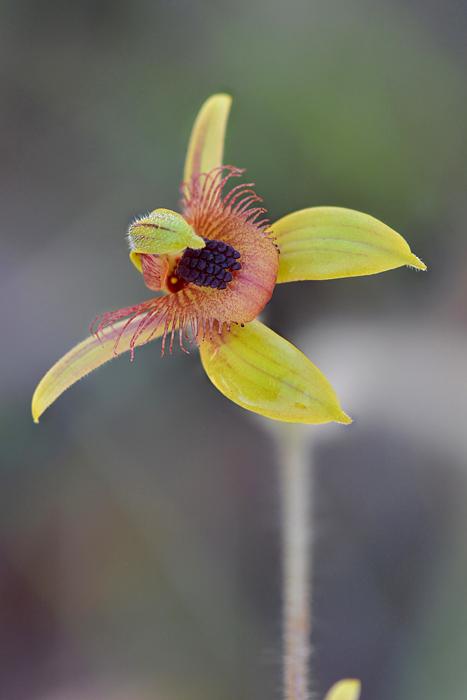 Quelques orchidées du Sud Ouest Australien Jlr_8817
