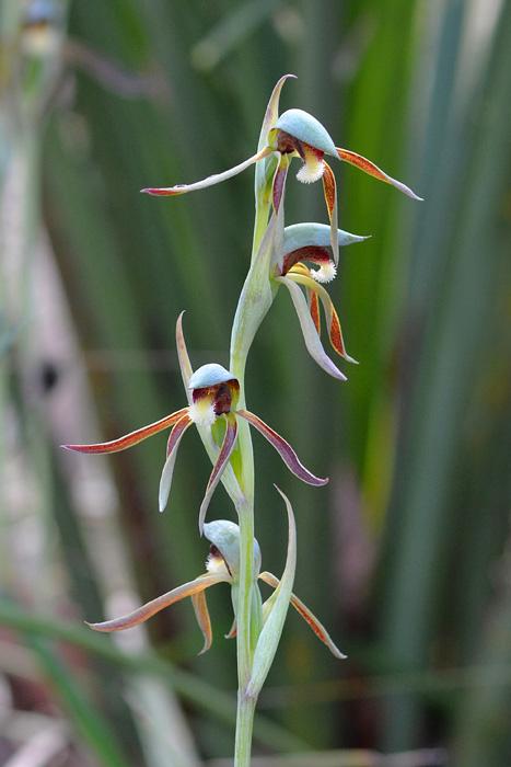Quelques orchidées du Sud Ouest Australien Jlr_8821