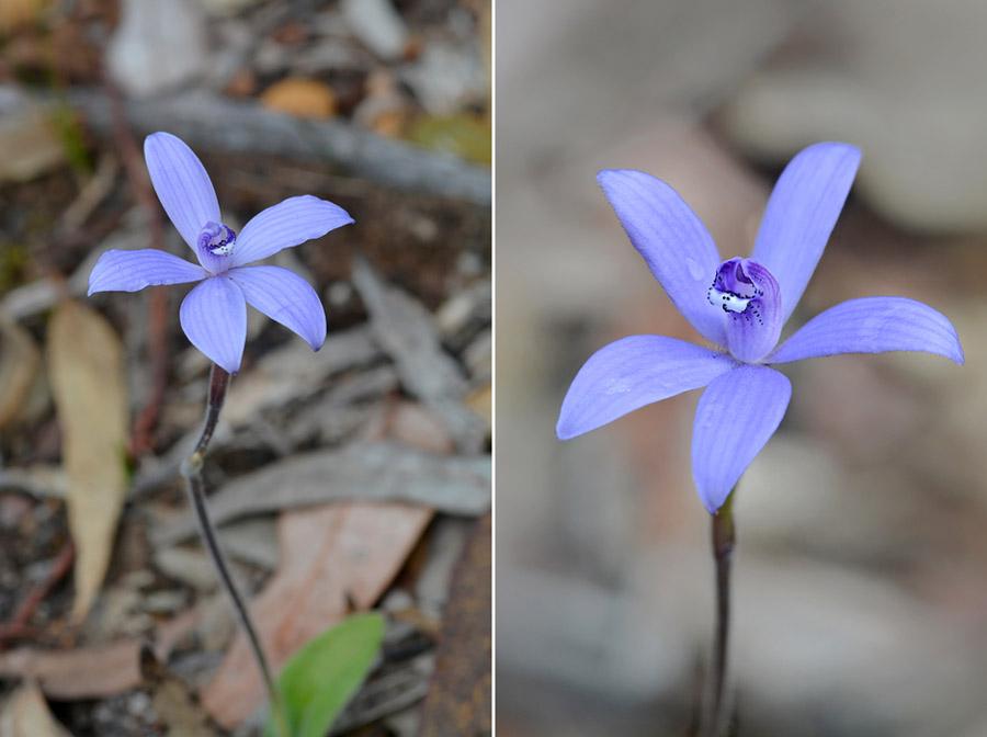Quelques orchidées du Sud Ouest Australien - Page 2 Jlr_8824