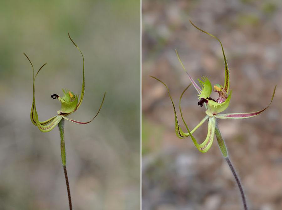Quelques orchidées du Sud Ouest Australien - Page 3 Jlr_8911