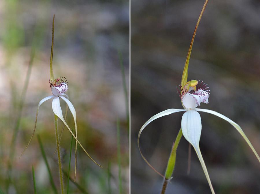 Quelques orchidées du Sud Ouest Australien - Page 3 Jlr_8912