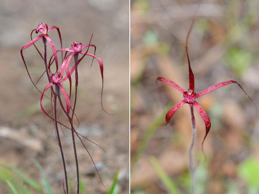 Quelques orchidées du Sud Ouest Australien - Page 3 Jlr_8913