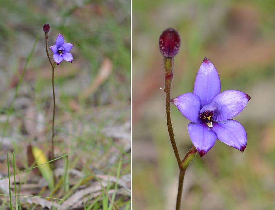 Quelques orchidées du Sud Ouest Australien - Page 4 Jlr_8915