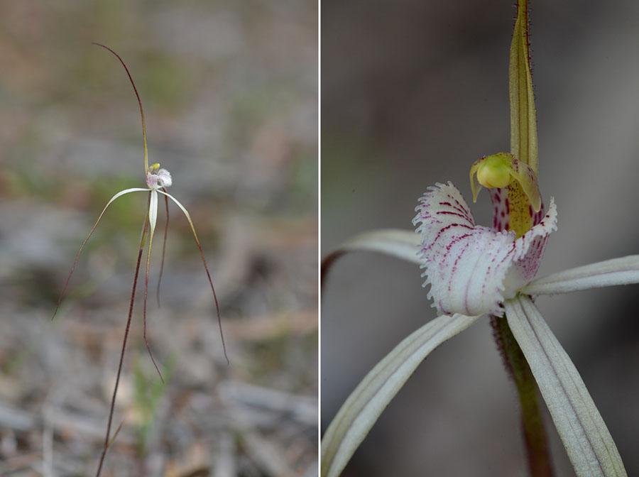 Quelques orchidées du Sud Ouest Australien - Page 4 Jlr_9011
