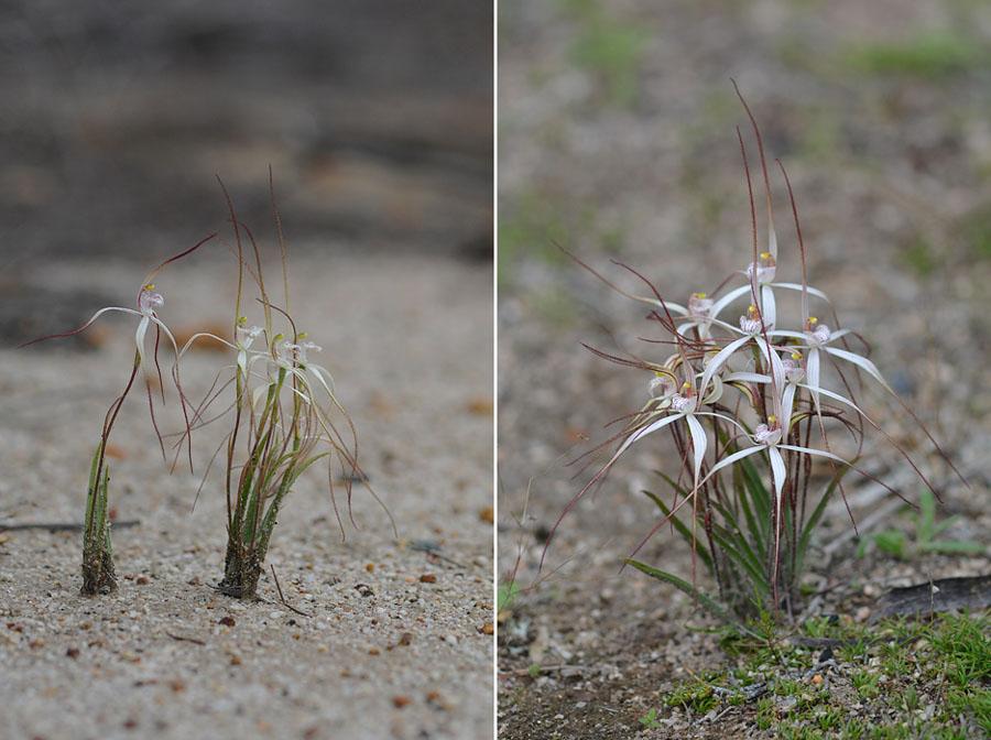 Quelques orchidées du Sud Ouest Australien - Page 3 Microc10