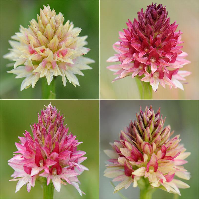Quelques nigritelles d'Autriche et des Dolomites - Page 2 Ophrys10