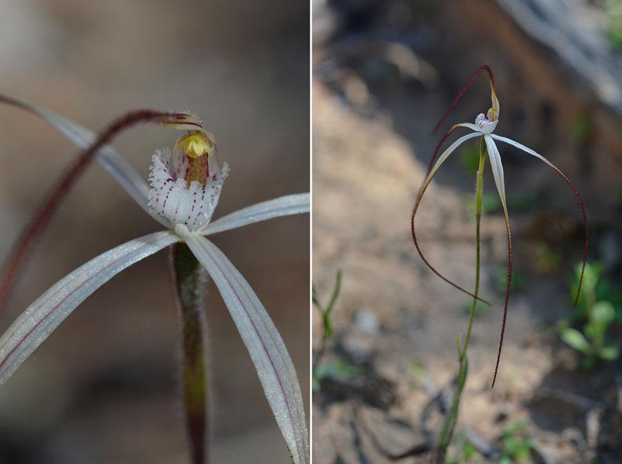 Quelques orchidées du Sud Ouest Australien - Page 3 Vulgat10