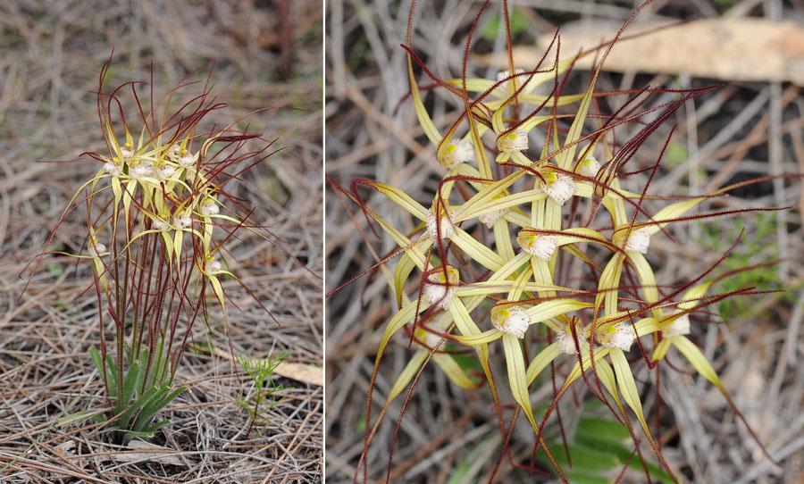 Quelques orchidées du Sud Ouest Australien - Page 3 Xantha10