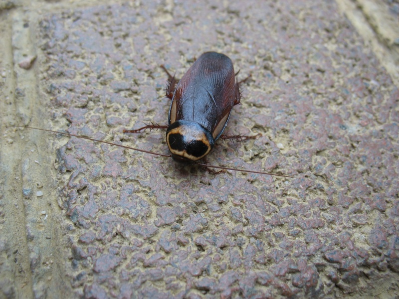 La Cucaracha (blatte) 15_jui10