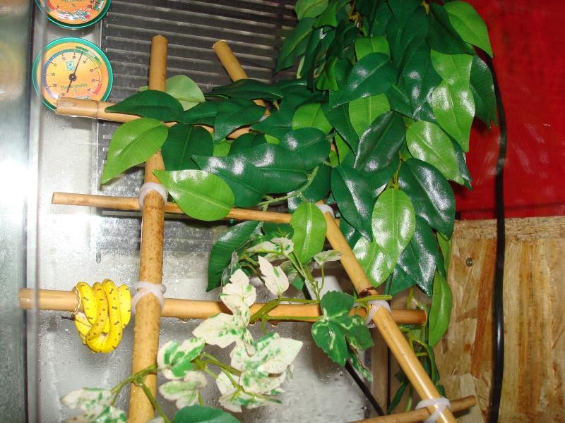 numéro 7 a la maison[ morelia viridis ] x) terra page 2 Dsc01810