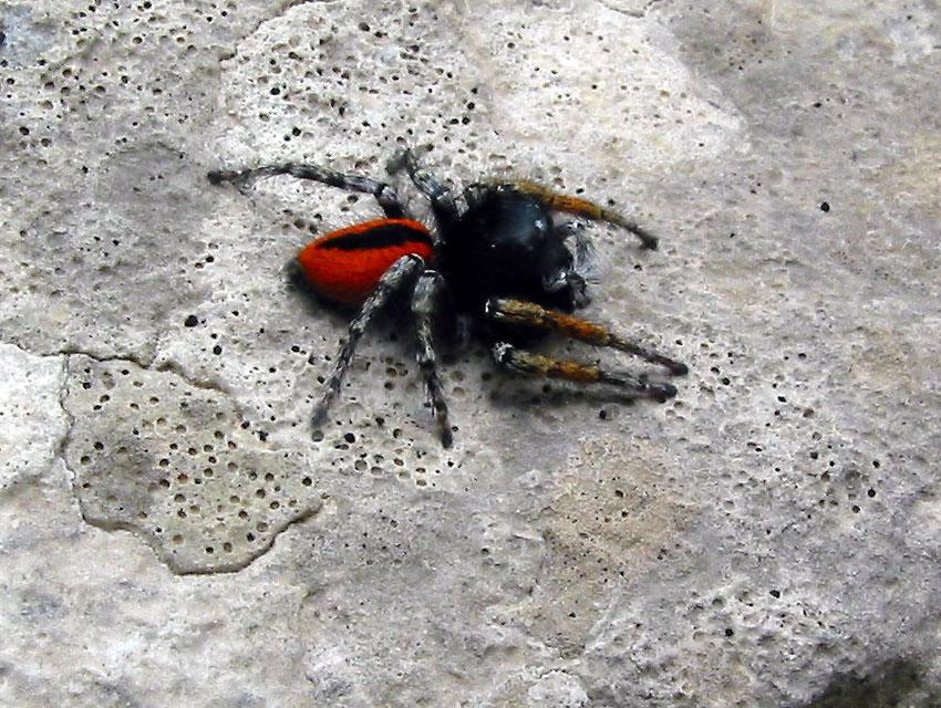 araignée rouge Philae10