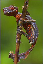 ¿Quién acierta cómo se llama este bichito? Gecko10