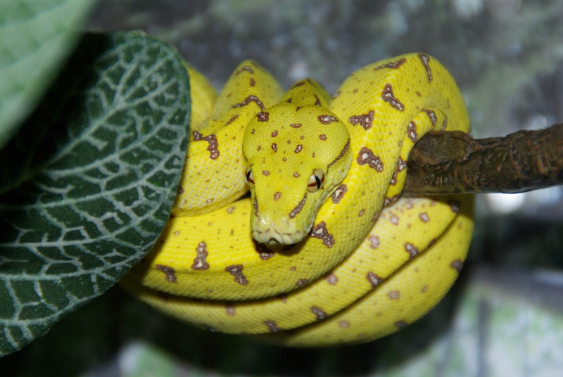 morelia viridis (new photo) - Page 2 Imgp1213