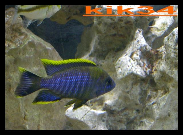 photos et videos de vos poissons du malawi Dscn5611