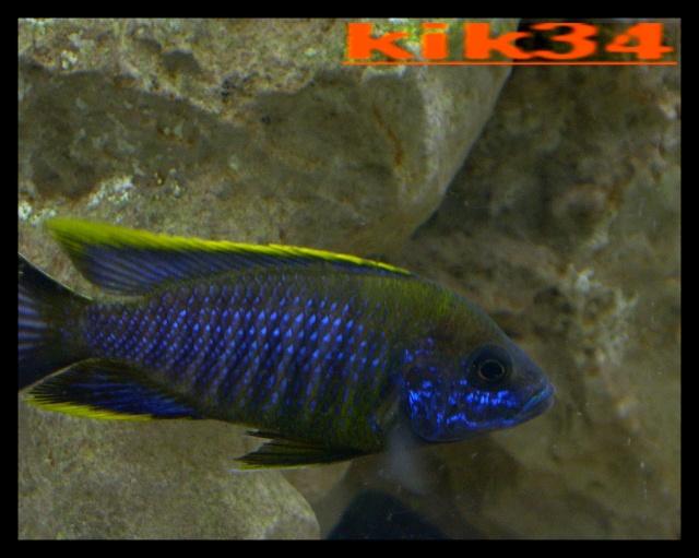 photos et videos de vos poissons du malawi Dscn5612