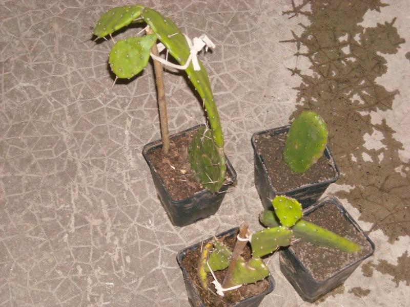 cactus corse Photo_14
