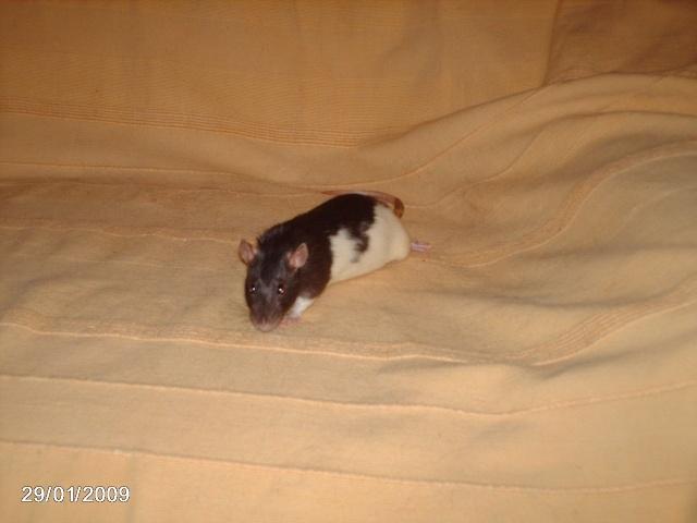 les rats de l'arche Andari10