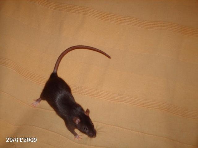 les rats de l'arche Capsul10