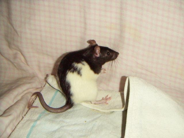 les rats en détresse ont-ils un radar ? - Page 2 Ldp_1910