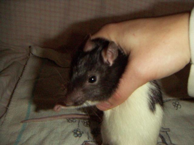 les rats en détresse ont-ils un radar ? - Page 2 Ldp_1912