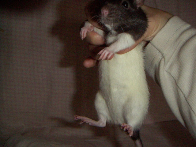 les rats en détresse ont-ils un radar ? - Page 2 Ldp_1913