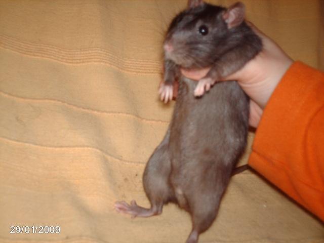 les rats de l'arche Pepsy_10