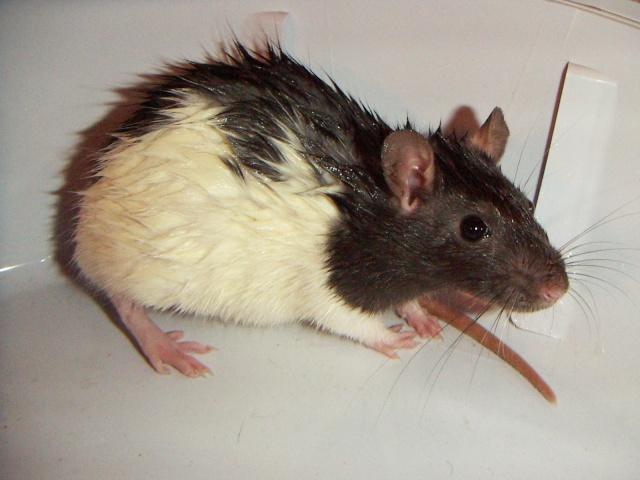 les rats en détresse ont-ils un radar ? Pict0018