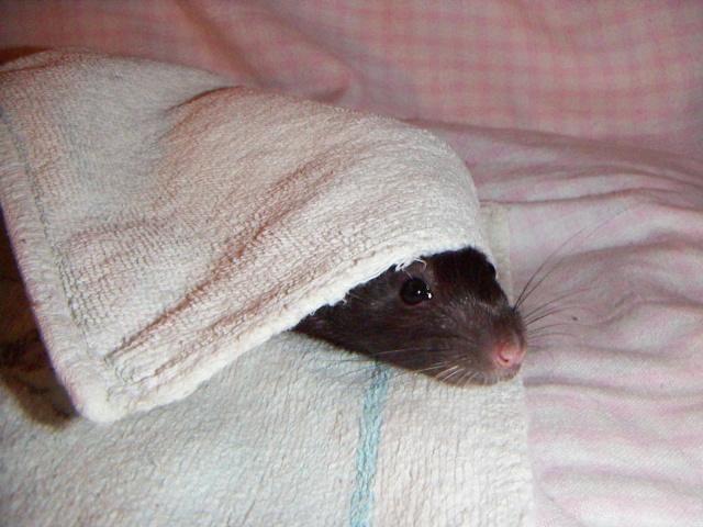 les rats en détresse ont-ils un radar ? Pict0042