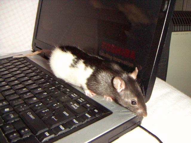 les rats en détresse ont-ils un radar ? Pict0044
