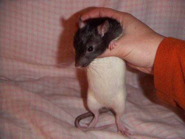 les rats en détresse ont-ils un radar ? - Page 2 Pict0053