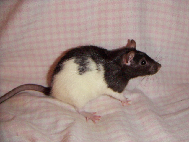 les rats en détresse ont-ils un radar ? - Page 2 Pict0055