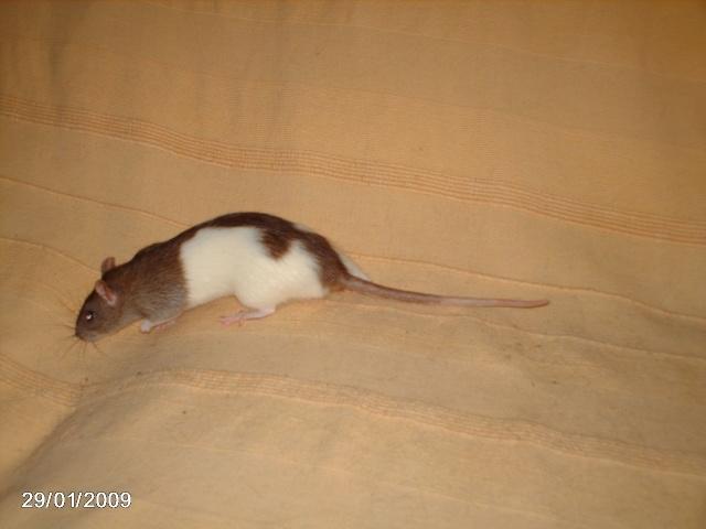 les rats de l'arche Pilule10