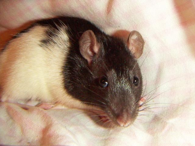les rats en détresse ont-ils un radar ? Ratte_11