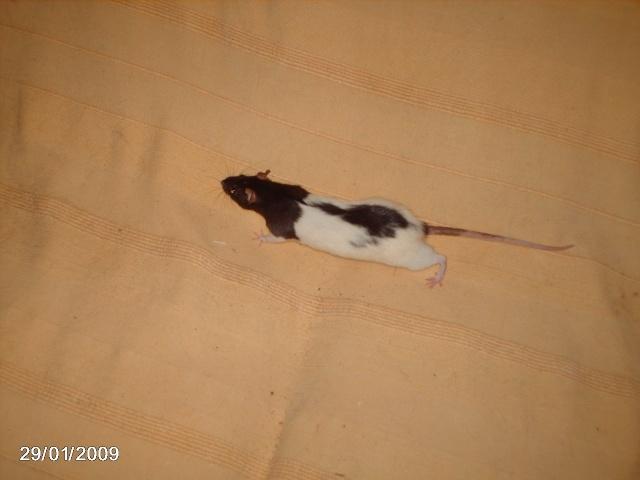 les rats de l'arche Tamary10