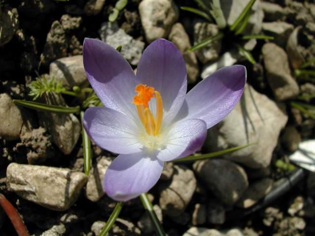 Crocus versicolor ? Dscn8614