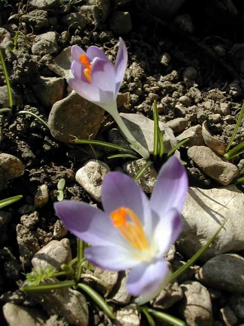 Crocus versicolor ? Dscn8615